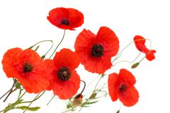 Red poppy flowers isolated on white background stock photos
