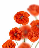 Red poppy flowers isolated on white Royalty Free Stock Photo