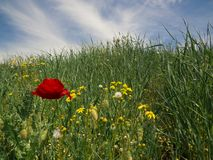 Red poppy flowers in spring meadow royalty free stock photos