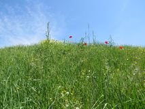 Red poppy flowers in spring meadow stock photography