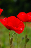 Red poppy flowers macro shot Stock Photos