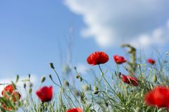 Red Poppy flowers on meadow and cloudy day royalty free stock image