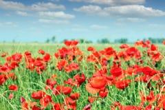 Red poppy flowers meadow Stock Photo