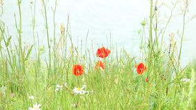 Red poppy flowers on meadow. Red poppy flowers poppies on green meadow, water lake in the background. Full Hd 1920x1080 stock footage
