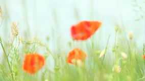 Red poppy flowers on meadow. Red poppy flowers poppies on green meadow, water lake in the background. Full Hd 1920x1080 stock video footage