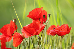 Red poppy flowers in the meadow. Red poppy flowers and seed capsules in the green grass, summerlike landscape stock photography