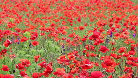Red poppy flowers meadow stock video