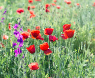 Red poppy flowers in meadow Stock Image