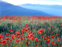Red poppy flowers in mountains Royalty Free Stock Photo