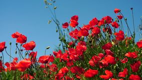 Red poppy flowers in the near of Munich in Bavaria Germany. The wind gently plays with them. Slowmotion Video. nature stock footage