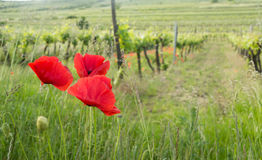 Red poppy flowers near vineyard Royalty Free Stock Images