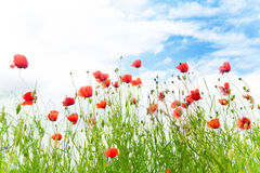 Red poppy flowers over blue sky Stock Photography
