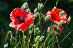 Red poppy flowers, Papaver rhoeas, with canary grass. Red poppy flowers, Papaver rhoeas. Bright flowers in a field of canary grass, brightly lit with dark stock photography
