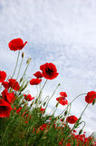 Red poppy flowers - Papaveraceae Papaver rhoeas Stock Images