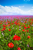 Red poppy flowers and purple ones. Poppy flowers in the spring field and purple flowers royalty free stock image