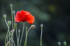 Red poppy flowers. Red field poppy flowers in a field in the countryside royalty free stock photos