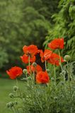 Red Poppies flowers Stock Images