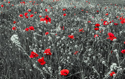 Red Poppy Flowers for Remembrance Day. Beautiful Red Poppy Flowers for Remembrance Day Royalty Free Stock Photography