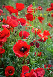 Red Poppy flowers in spring Stock Photos