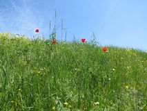 Red poppy flowers in spring meadow stock photo
