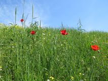 Red poppy flowers in spring meadow royalty free stock photo