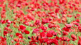 Red poppy flowers stock video footage
