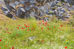 Red poppy flowers and stone wall, symbol for Remembrance Day Stock Photography