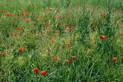 Red poppy flowers in summer Stock Photography