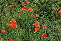 Red poppy flowers in summer Royalty Free Stock Image