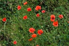 Red poppy flowers in summer Stock Image