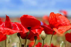Red poppy flowers during summer Royalty Free Stock Photo