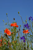 Red poppy flowers in summer meadow over blue sky Stock Photos