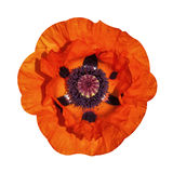 Red poppy flowers summer rose Royalty Free Stock Photography