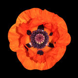 Red poppy flowers summer rose Royalty Free Stock Image