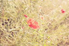 Red poppy flowers at sunset. Royalty Free Stock Image