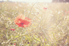 Red poppy flowers at sunset. Stock Photos