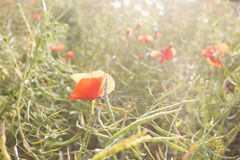 Red poppy flowers at sunset. Stock Images