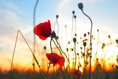Red poppy flowers at sunset Stock Image