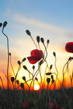 Red poppy flowers at sunset Royalty Free Stock Image