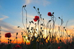 Red poppy flowers at sunset Royalty Free Stock Images