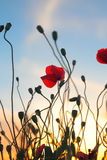 Red poppy flowers at sunset Stock Images