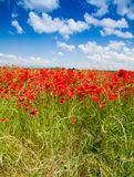 Red poppy flowers under spring sky Stock Photo