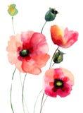Poppy flowers Royalty Free Stock Photo