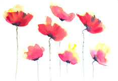Red poppy flowers , watercolor illustrator Stock Photo