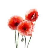 Red poppy flowers watercolor painting. On white background Stock Photo