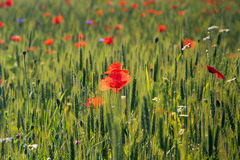 Red poppy flowers. In a wheat field Stock Photo