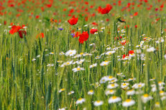 Red poppy flowers. In a wheat field Stock Photography