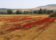 Red Poppy flowers in Wheat Field near small village Royalty Free Stock Photos