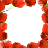 Red poppy frame Royalty Free Stock Image