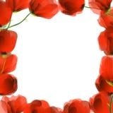 Red poppy frame Royalty Free Stock Image